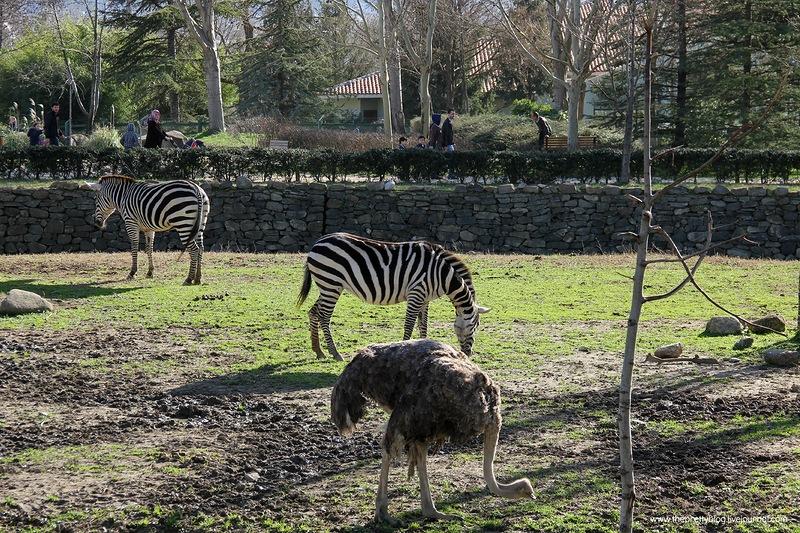 Зебры в Бурсе
