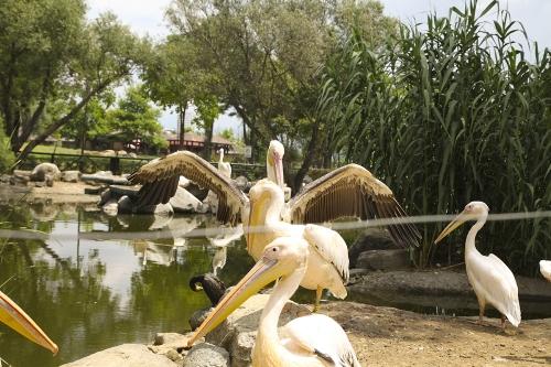 Пеликаны в Бурсе