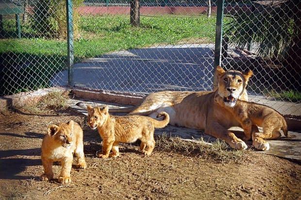 Львы в зоопарке в Стамбуле